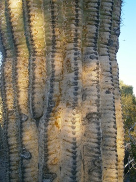 Trunk of old saguaro cactus at Desert Botanical Garden, Phoenix, AZ.