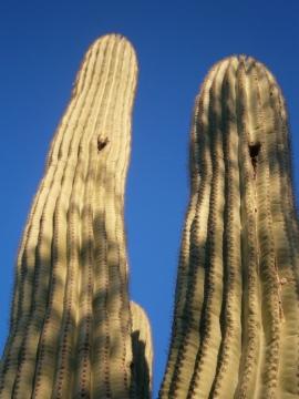 Saguaro cactus at Desert Botanical Garden, Phoenix, AZ.